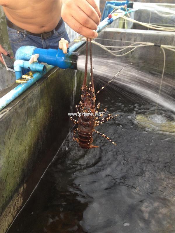 龙虾养殖  亚博app官方下载安卓版处理海水